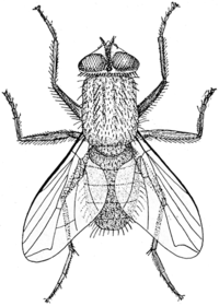 200px-Musca_illustration.png